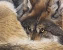 Nap time wolf (thumbnail)