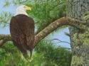 Bald Eagle on Branch (thumbnail)