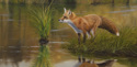 Red Fox by water (thumbnail)