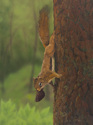 Red Squirrel (thumbnail)