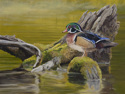 Wood Duck (thumbnail)