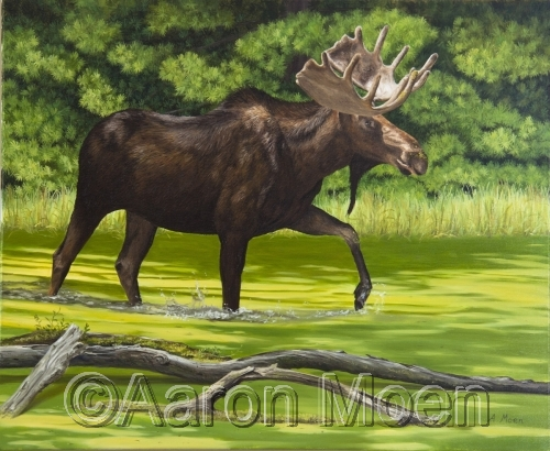 Moose in pond with evergreen