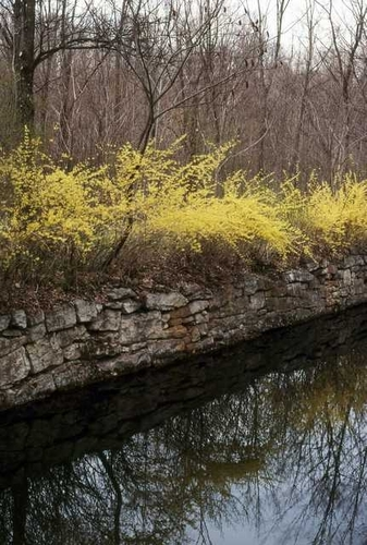 Forsythia in High Falls, New York by Alan Perna Photography