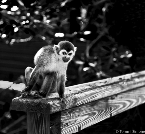 Bonnet House Monkey