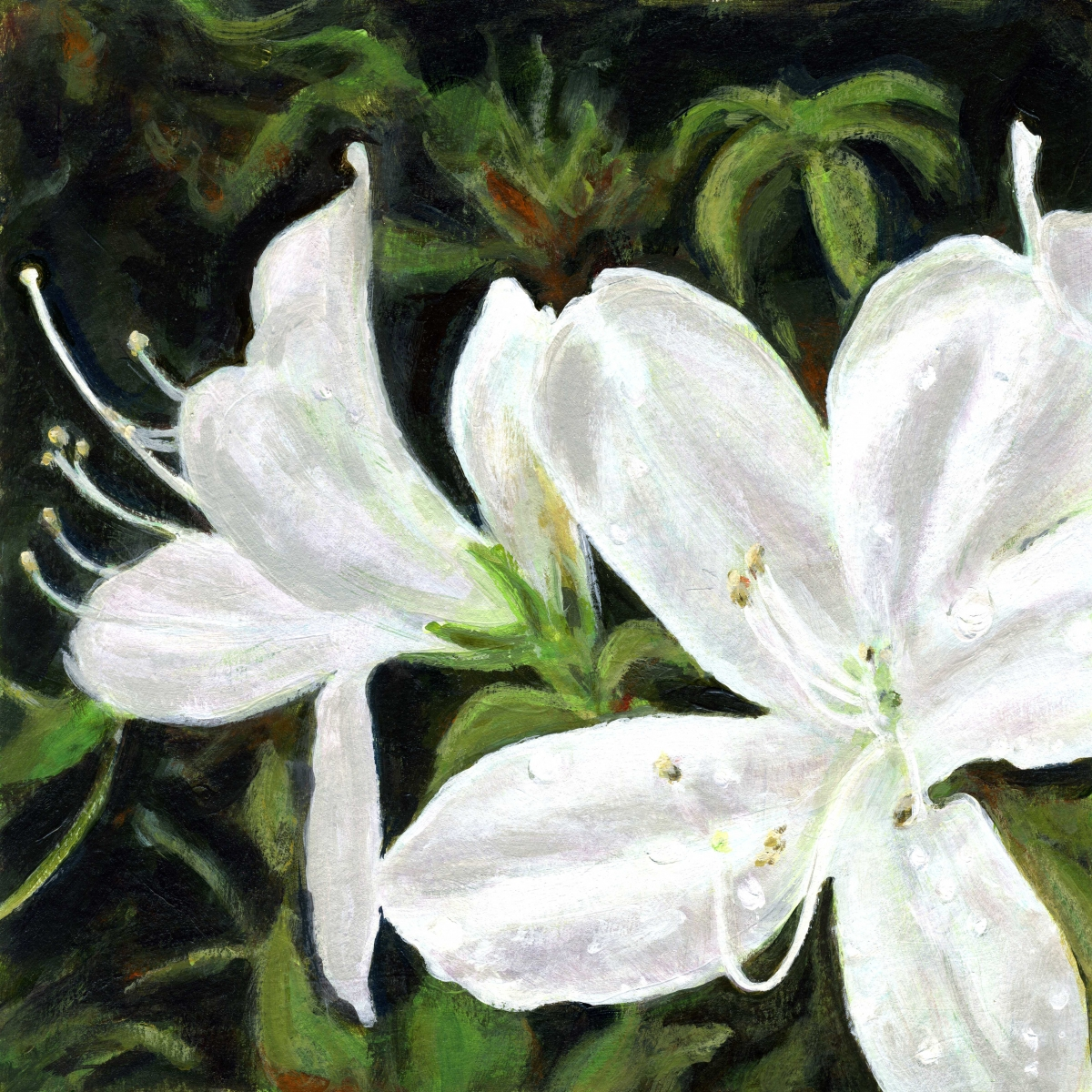 intimate view of white azalea blossoms with morning dew (large view)