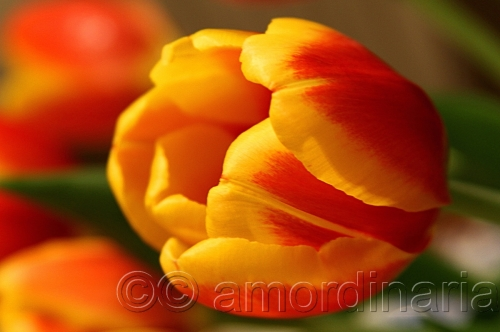 Tulip by Anthony Macoy Ordinaria