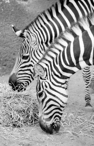 """""""Zebras II"""" by amy oestlund"""
