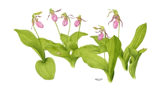 "Pink Lady Slippers ""The Girls"" by Andrea Wilson Artist"