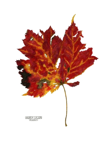 Red Maple #13