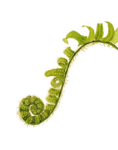 Fiddle Head Fern by Andrea Wilson Artist
