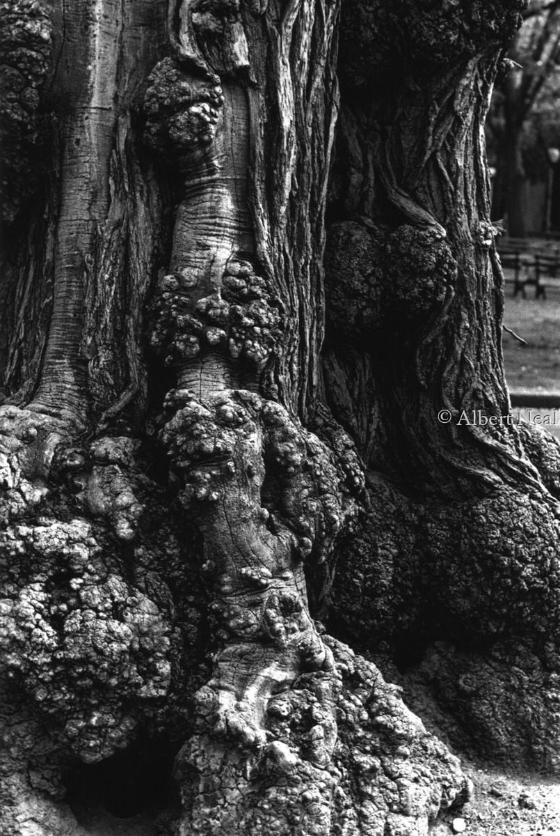 Locust Tree, Washington Square Park, NYC (large view)