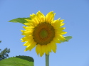Sunflower Day (thumbnail)
