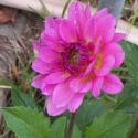 African Daisy1 (thumbnail)