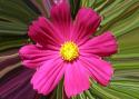 Pink Calendula (thumbnail)