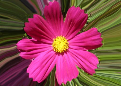 Pink Calendula