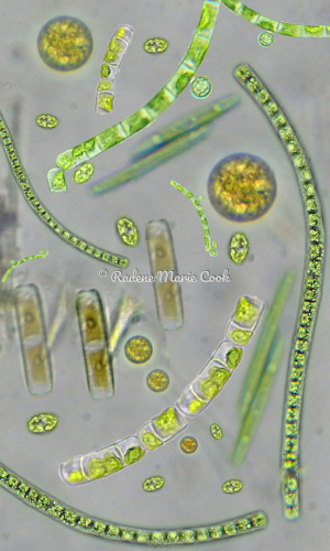 Algae Jewels