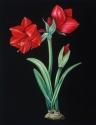 Red Amaryllis (thumbnail)