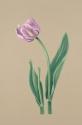 Pink Tulip Print (thumbnail)