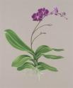 Phalaenopsis Orchid (thumbnail)