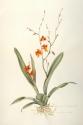 """Orchid """"Lava Flow"""" (thumbnail)"""
