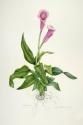Purple Calla Lilies (thumbnail)