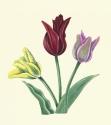 Three Tulips (thumbnail)