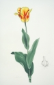 Olympic Flame Tulip (thumbnail)