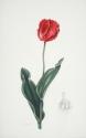 Red Parrot Tulip (thumbnail)