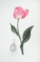 Pink Parrot Tulip (thumbnail)