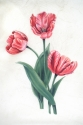 Three Peach Tulips on Vellum (thumbnail)