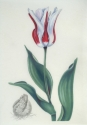tulip on vellum (thumbnail)