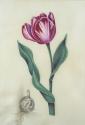 Striped Tulip on Vellum (thumbnail)