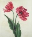 Two Peach Tulips on Vellum (thumbnail)