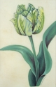 Green and White Parrot Tulip on Vellum (thumbnail)