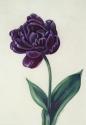 Parrot Tulip on Vellum (thumbnail)