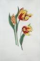 Tulip Trio on Vellum (thumbnail)