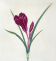 Purple Crocus (thumbnail)
