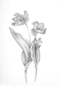 Parrot Tulips in Graphite (thumbnail)