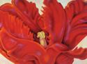 Red Parrot Tulip 3 (thumbnail)