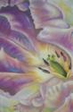 Violet Tulip (thumbnail)