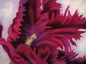 New Black Parrot Tulip (thumbnail)