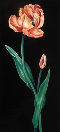 Apricot Parrot Tulip