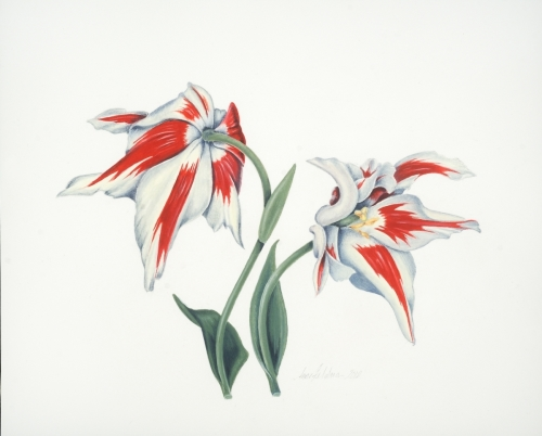 Red and White Lily-Flowering Tulip