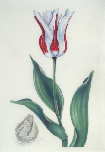 Red and White Tulip on Vellum
