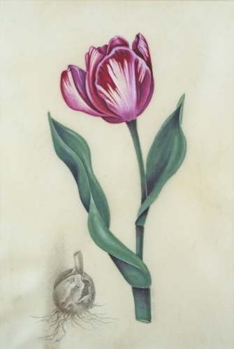 Striped Tulip on Vellum