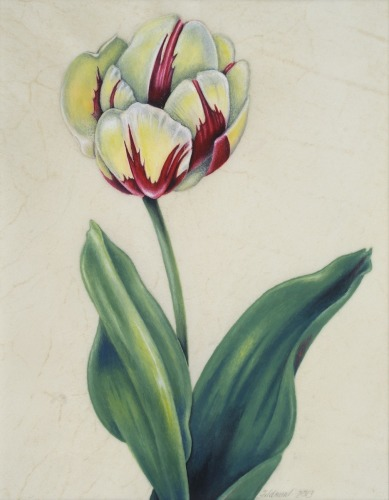 Old World Tulip 2