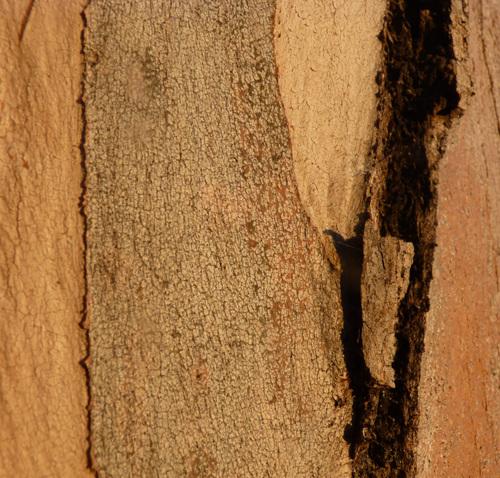 Balboa Bark (large view)
