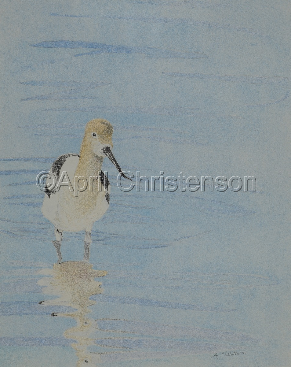 Avocet Reflections (large view)