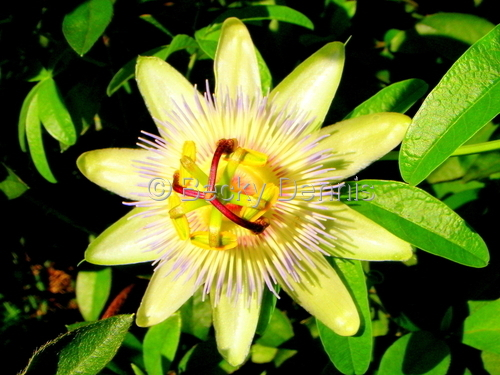 FLOWERS (Passionflower!)