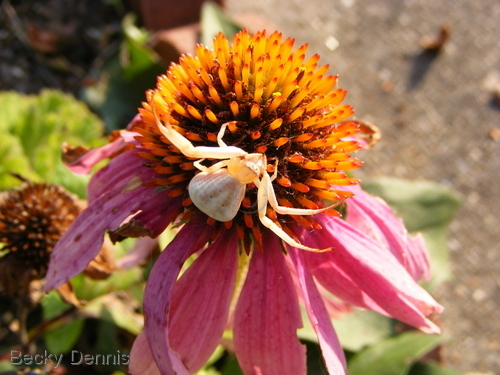 Sweet Spider rests on coneflower Home
